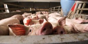 hog barn consolidated animal feeding operation
