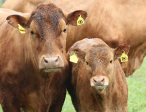 RFID tagged cattle